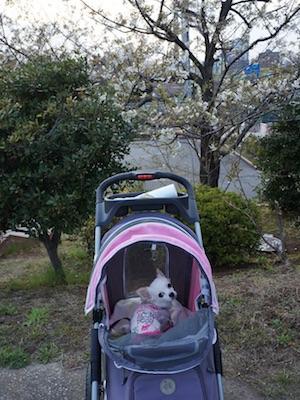 もーみんと桜2017 part 2.jpg