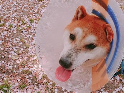 ibuki.sakura.jpg